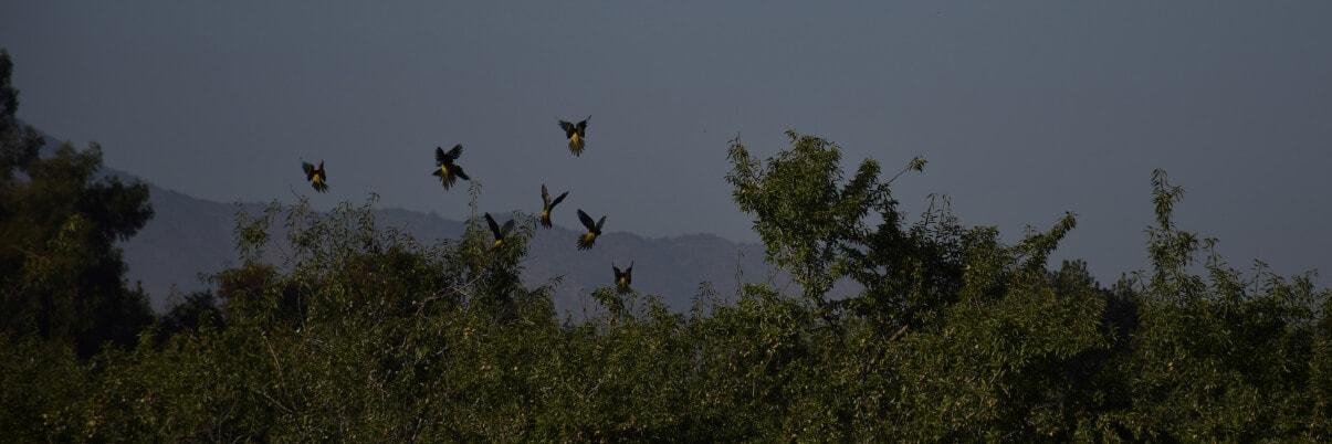 Reducir el daño loro a las almendras, reducing parrot presence