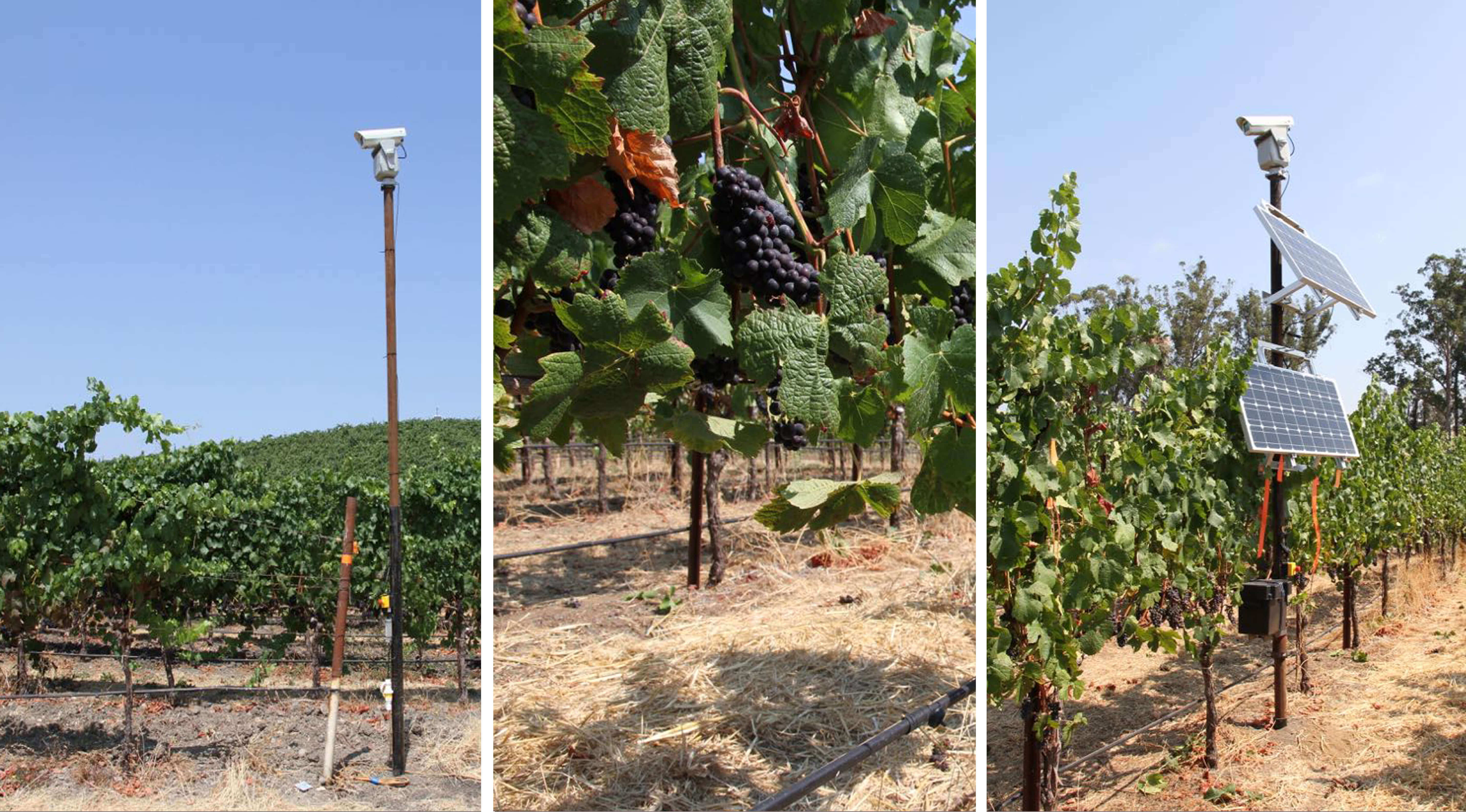 Vineyards Use Innovative Laser Bird Repellent to Protect Wine Grapes in New Zealand
