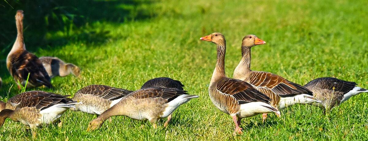 Wilde (water)vogels kunnen de vogelgriep overbrengen op pluimvee