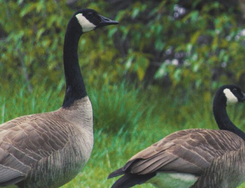 How to Get Rid of Canada Geese