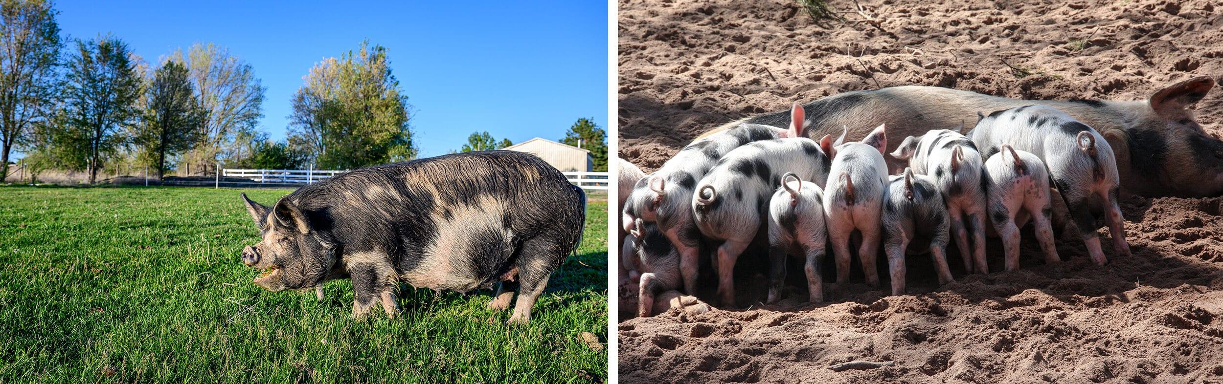 prevent swine diseases from birds